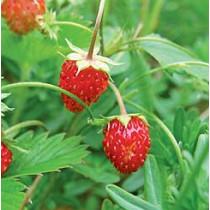 Jordbær (vilde) aroma