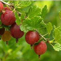 Stikkelsbær aroma