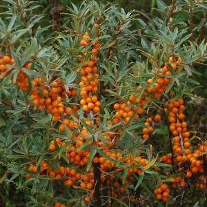 Havtorn aroma